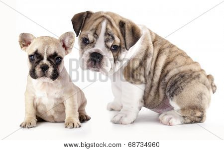 english Bulldog puppy and French Bulldog