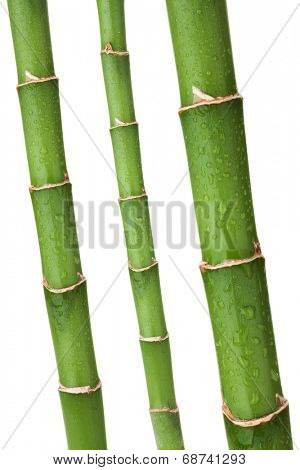 Fresh bamboo stems with wated drops. Isolated on white background