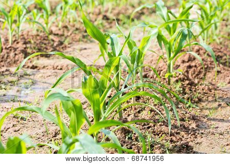 Rows Of Young Corn