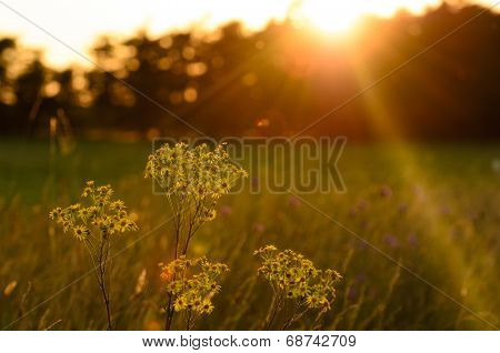 Wild Flowers Into A Sunset Sky