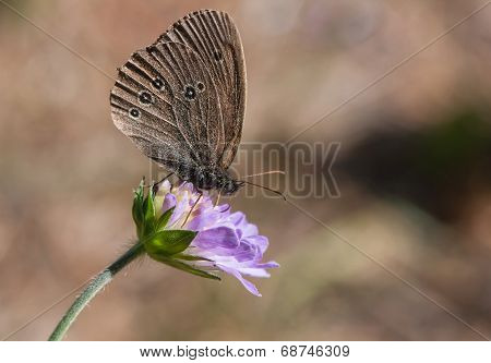 Brown Butterfly Ringlet On A Blue Flower