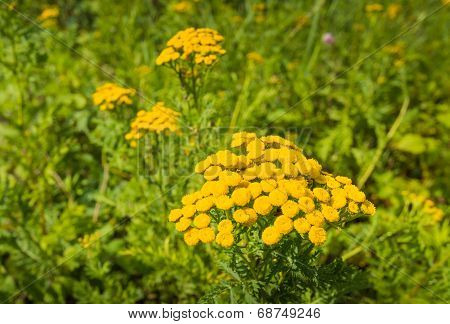Bright Yellow Flowering Common Tansy