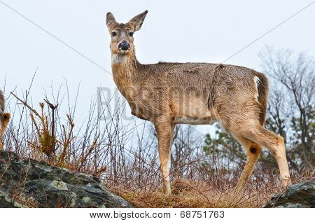Deer in the Shenandoah National Park - Virginia, United States