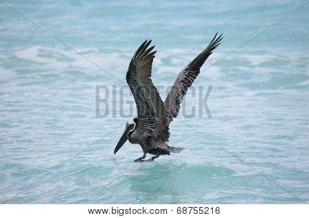 Hunting Pelican