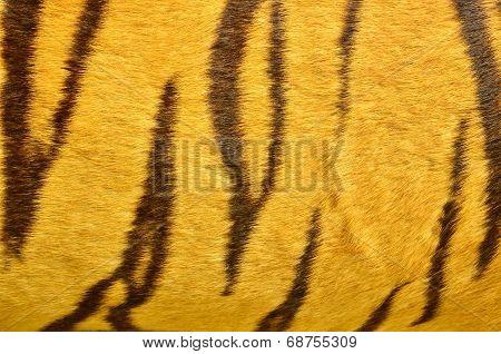Beautiful Tiger Fur Texture