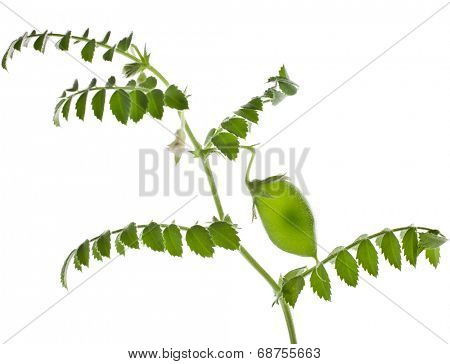 Green young chick- pea plant sprouts isolated on white background