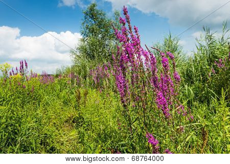 Colorful Summer Landscape With Blooming Purple Loosetrife