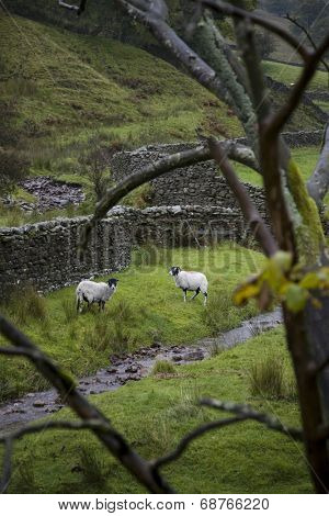 Sheep on pasture in Yorkshire Dales, Yorkshire, England
