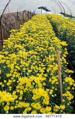 Inside Greenhouse Of Yellow Chrysanthemum Flowers Farms