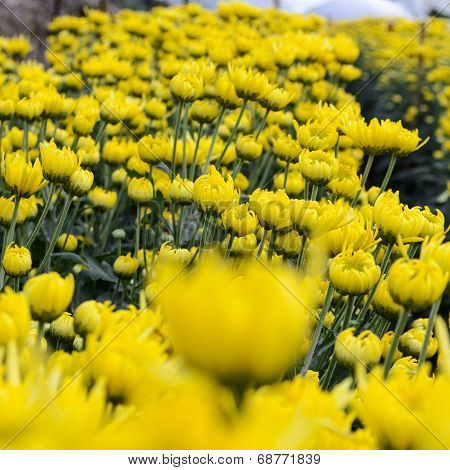Close Up Yellow Chrysanthemum Flowers In Garden