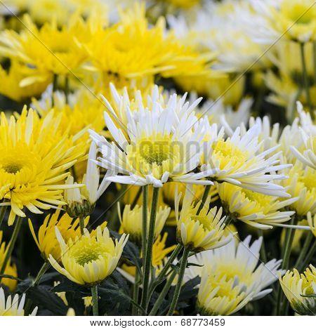 Chrysanthemum Morifolium Flowers Garden