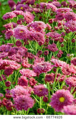 Magenta Chrysanthemum Morifolium Flowers Farms
