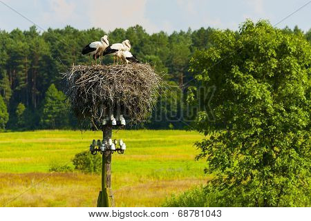 Young storks, socket of birds.