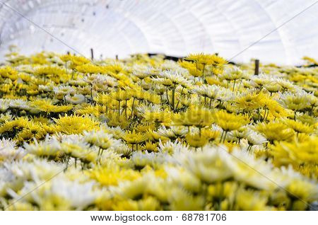 Chrysanthemum Morifolium Flowers Farm