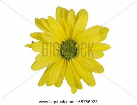 Yellow Isolated Daisy