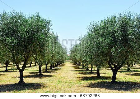 Olive Trees In Tuscany Countryside, Toscana, Italy