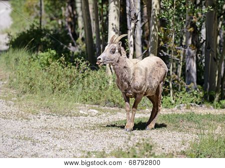 Bighorn sheep in the forest