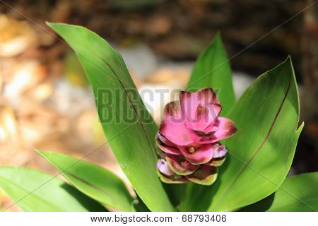 Curcuma alismatifolia flower