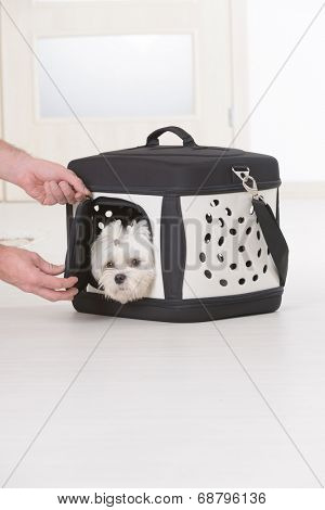 Small dog maltese in transporter or bag, hands of his owner putting him in.