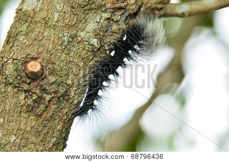 Black Caterpillar