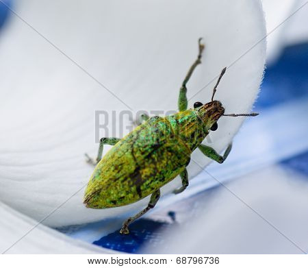 Green Weevil Hanging On White Petal Lackground