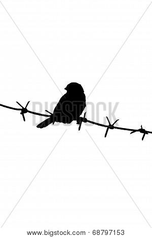 Sparrow on the barbed wire