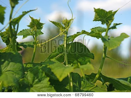 Cucumber Shoots With Tendrils Against The Blue Sky
