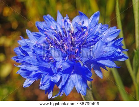 Blue Cornflower Close Up