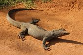 picture of monitor lizard  - National park Yala. Monitor lizard on the sandy road.
