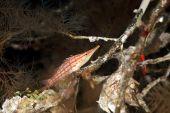 image of hawkfish  - longnose hawkfish in black coral taken in the Red Sea - JPG