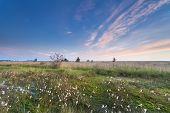 pic of marsh grass  - morning on marsh with cotton grass Fochtelooerveen Friesland Netherlands - JPG