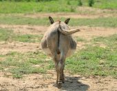 picture of butts  - Donkey - JPG