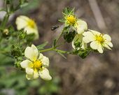 foto of flying-insect  - Insect Flying to Yellow Wildflowers - JPG