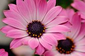 pic of oxen  - Closeup of a pink spanish daisy or ox - JPG