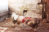 foto of fighting-rooster  - Roosters are preparing to fight in the village - JPG