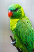 stock photo of lorikeets  - beautiful portrait of a green lorikeet perched on a branch - JPG