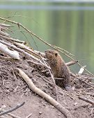 picture of beaver  - Baby Beaver on beaver dam in pond - JPG