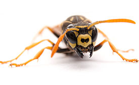picture of mandible  - Attack single wasp with open mandibles on white background - JPG