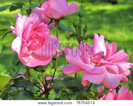 Beautiful Blooming Pink Roses. Rose Bush