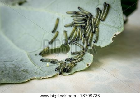 Larvae Of The Large, Cabbage White Butterfly,