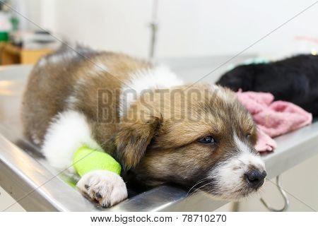 Illness Puppy(thai Bangkaew Dog)