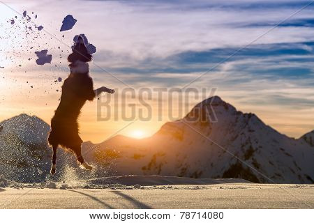 Border Collie Jumps In The Snow