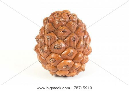 One Pine Cone Isolated. White Background.