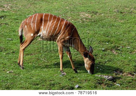 Female nyala antelope (Nyala angasii), also known as the inyala.