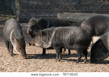 Collared peccaries (Pecari tajacu).