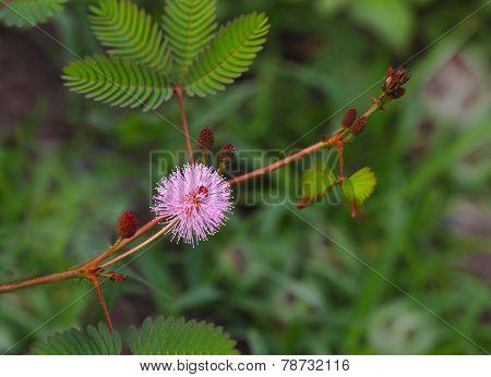 Pudica Mimosa Flower