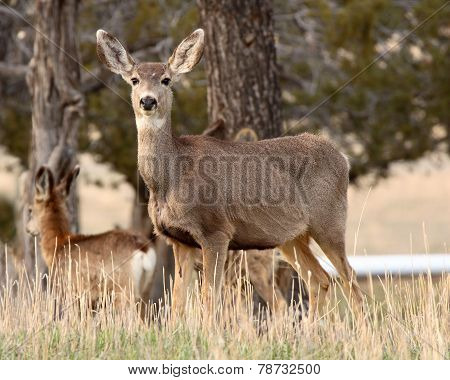 Female Mule Deer Portrait