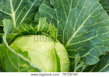 Young Green Head Of Cabbage