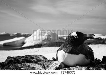 black and white penguin in Antarctica