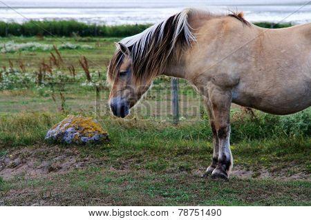 Dutch horse
